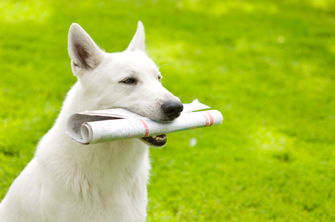 Photo of a dog carrying a newspaper